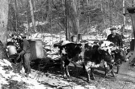 Norma Carver, Judy Thrasher, and Clayton Thayer collect sap from maple trees in 1952